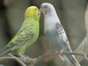 Love Birds At Sundarvan