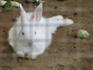A better looking Rabbit At Sundarvan